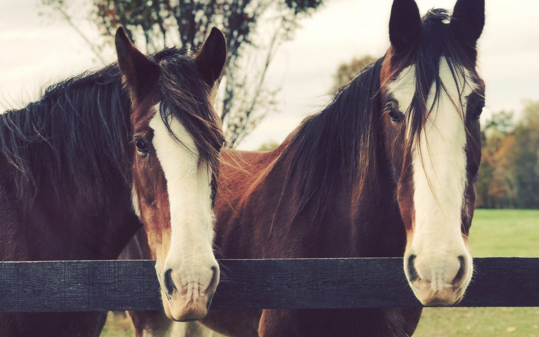 Meet the Clydesdales