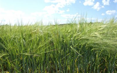 Farm Grown Violetta Barley